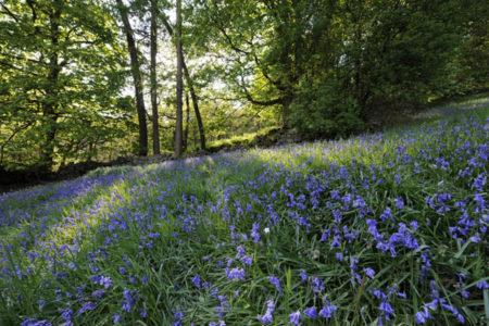 Hardcastle Crags bluebells