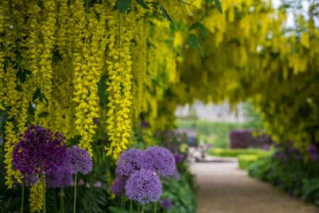 Laburnum Arch and alliums 2
